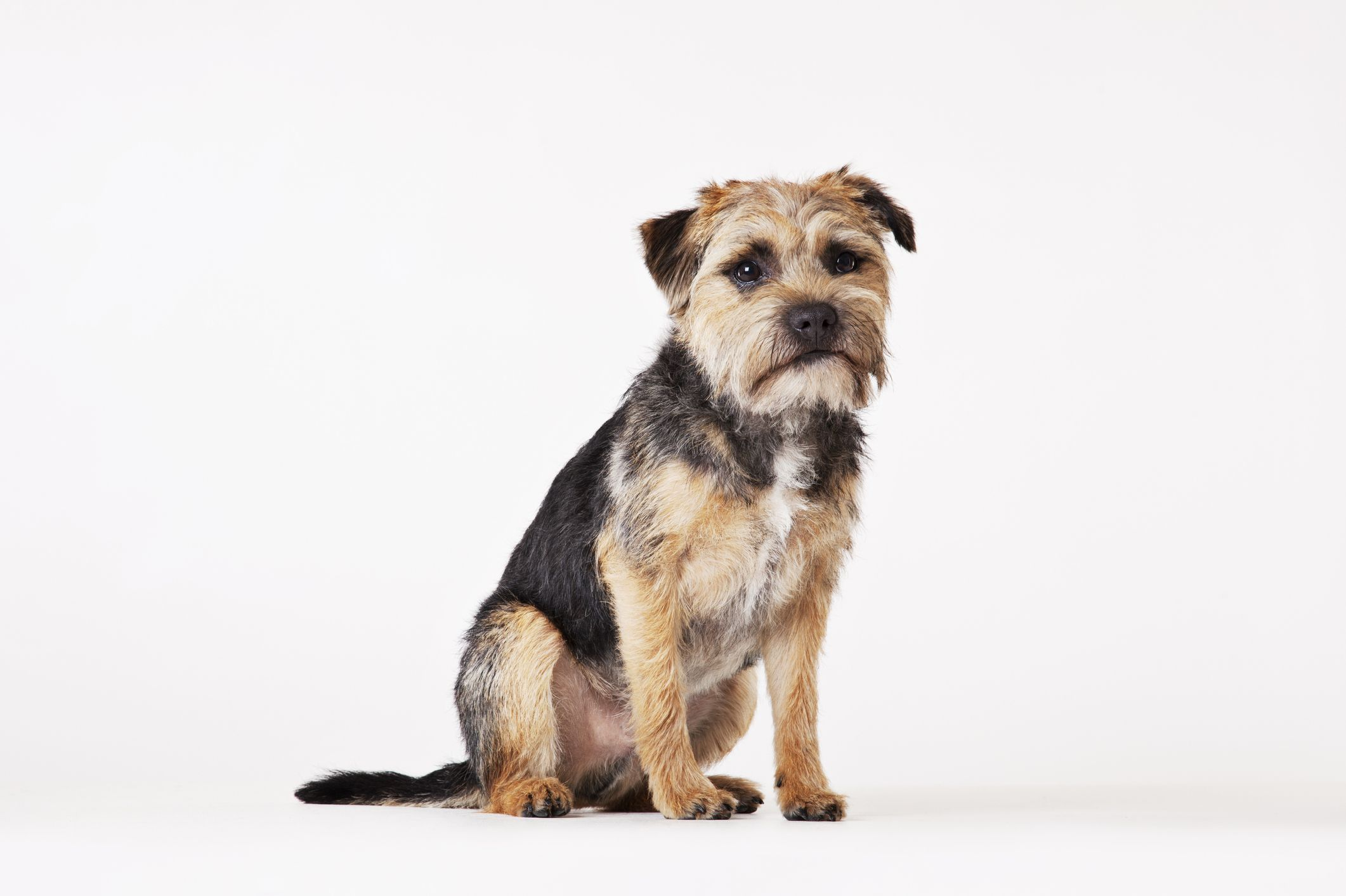 15 Dogs That Don't Shed - Hypoallergenic Dog Breeds