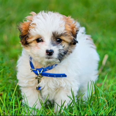 dogs that don't shed - havanese