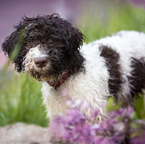 dogs that dont shed lagotto romagnolo