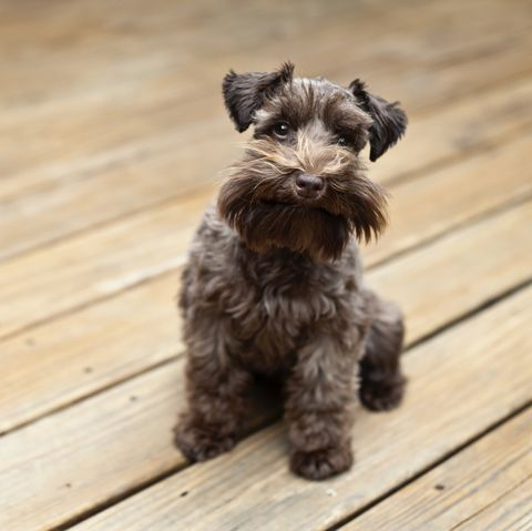 dogs that don't shed - schnauzer