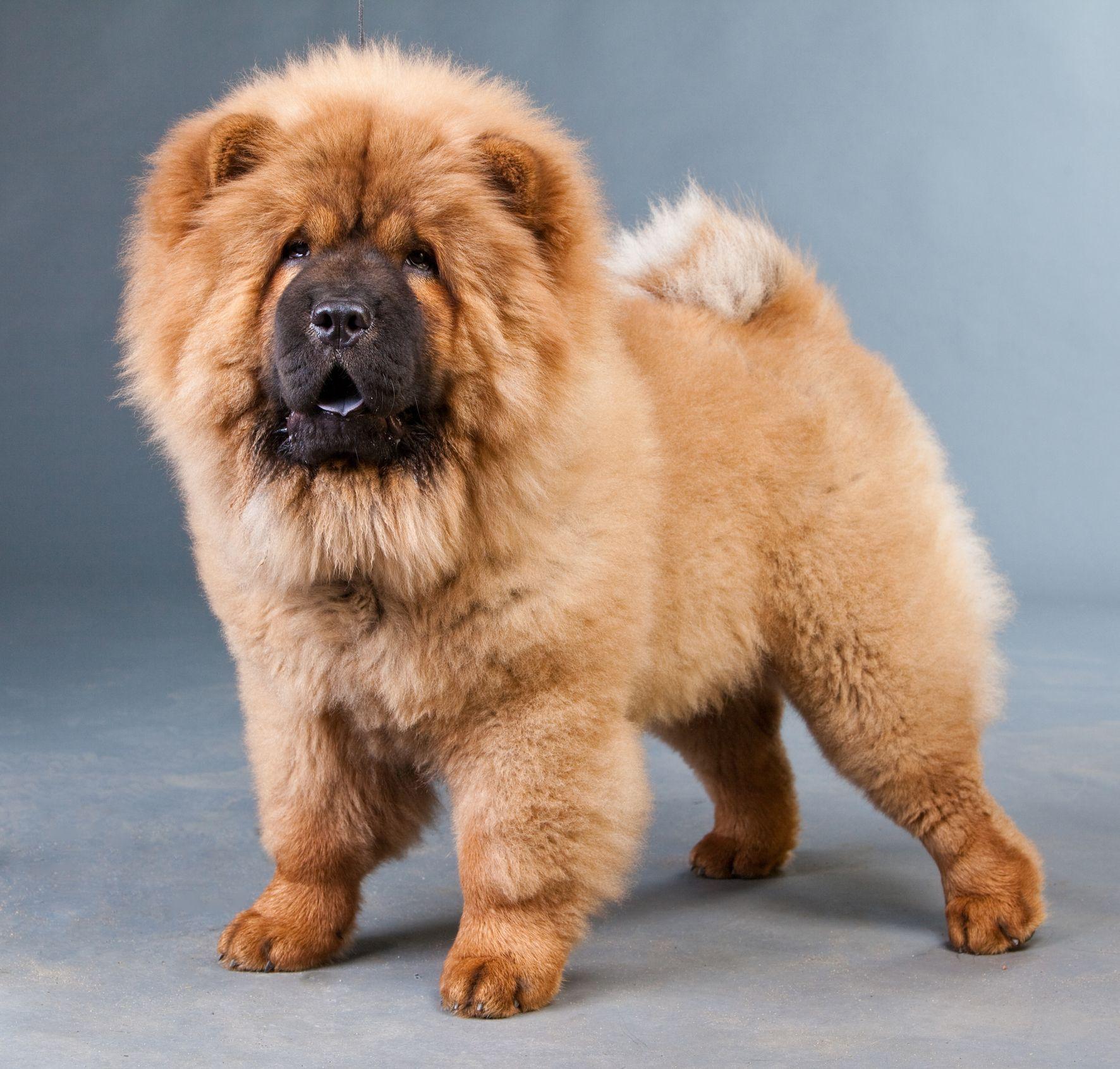 8 Dogs That Look Like Bears: Chow Chow