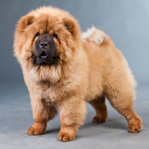 dogs that look like bears - chow chow