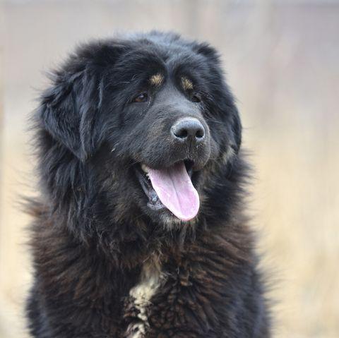 dogs that look like bears - tibetan mastiff