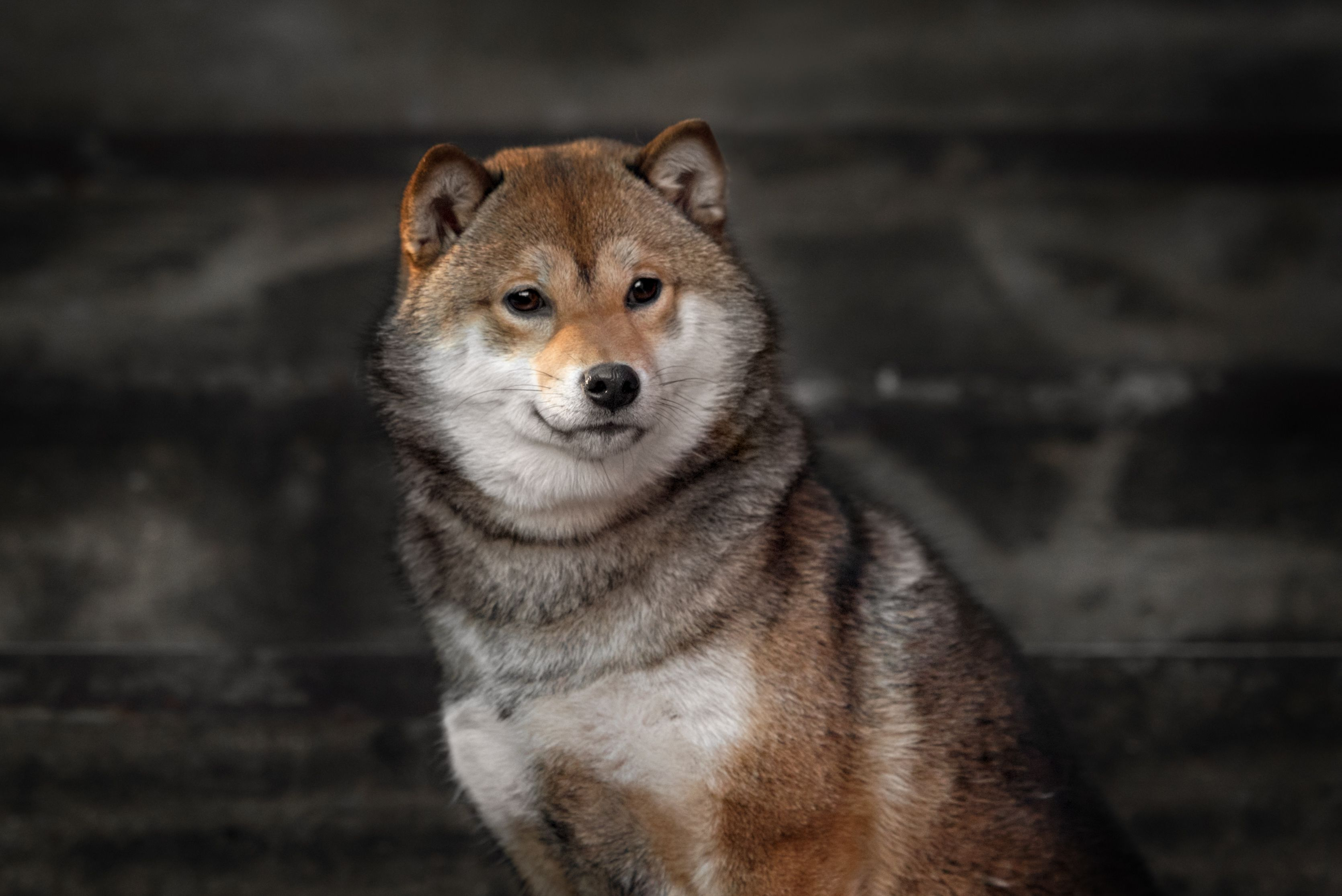 13 Dogs That Look Just Like Foxes — No, Seriously
