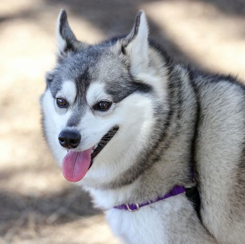 dogs that look like foxes - Alaskan Klee Kai