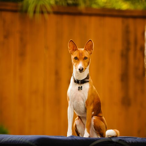 dogs that look like foxes - Basenji