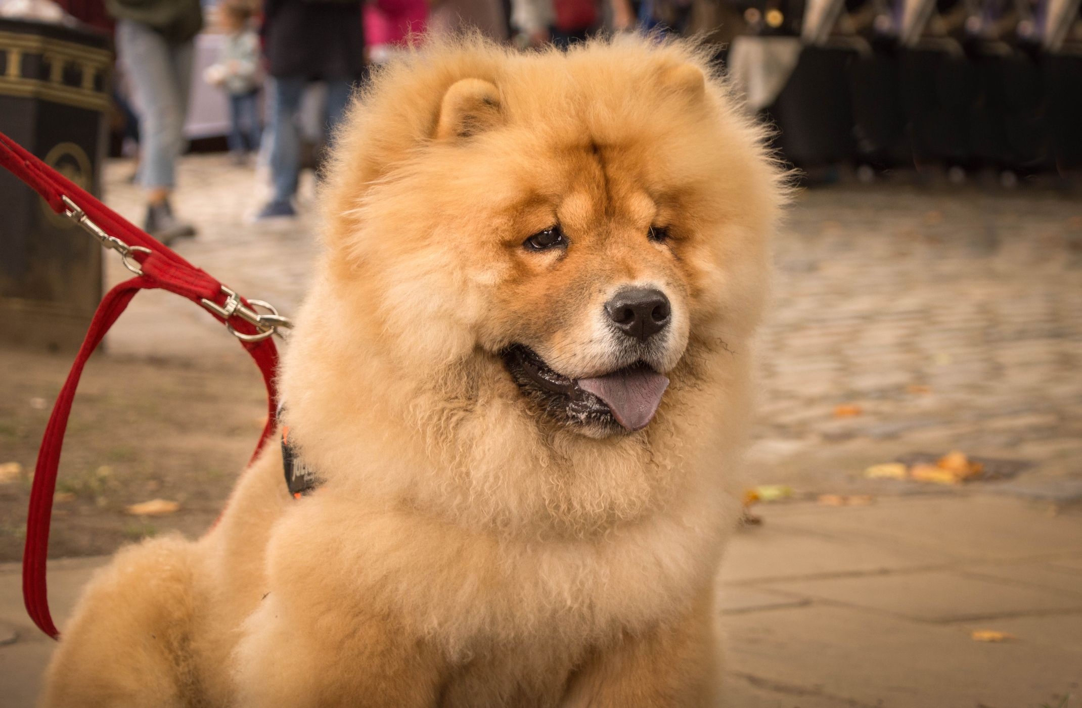 7 Dogs That Look Like Lions: Chow Chow