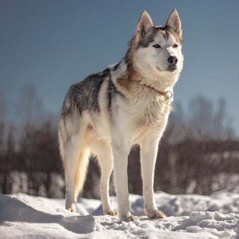 dogs that look like wolves - siberian husky