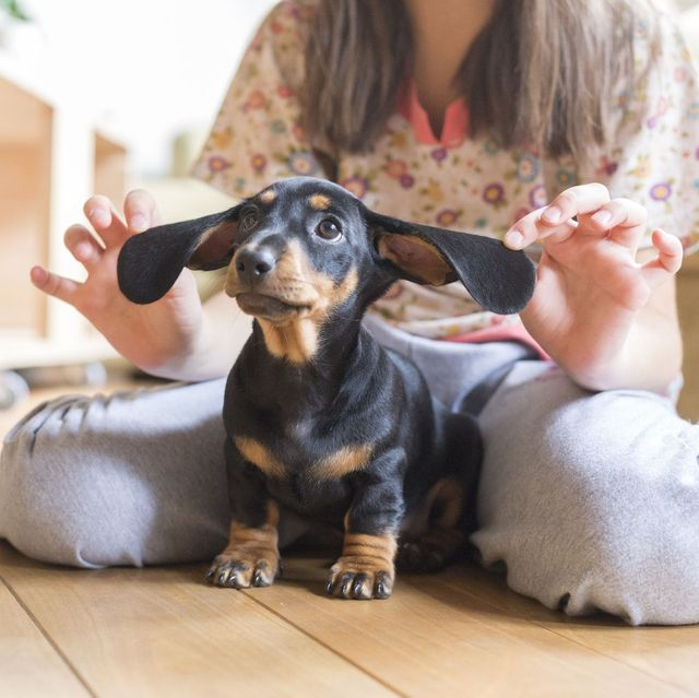 dogs-with-big-ears-dachshund