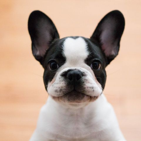 dogs-with-big-ears-french-bulldog