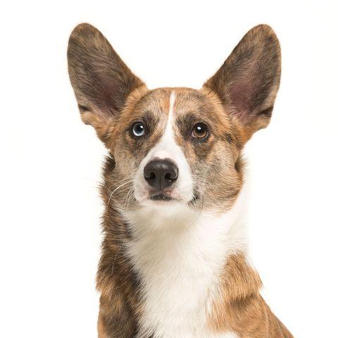 dogs-with-big-ears-welsh-corgi