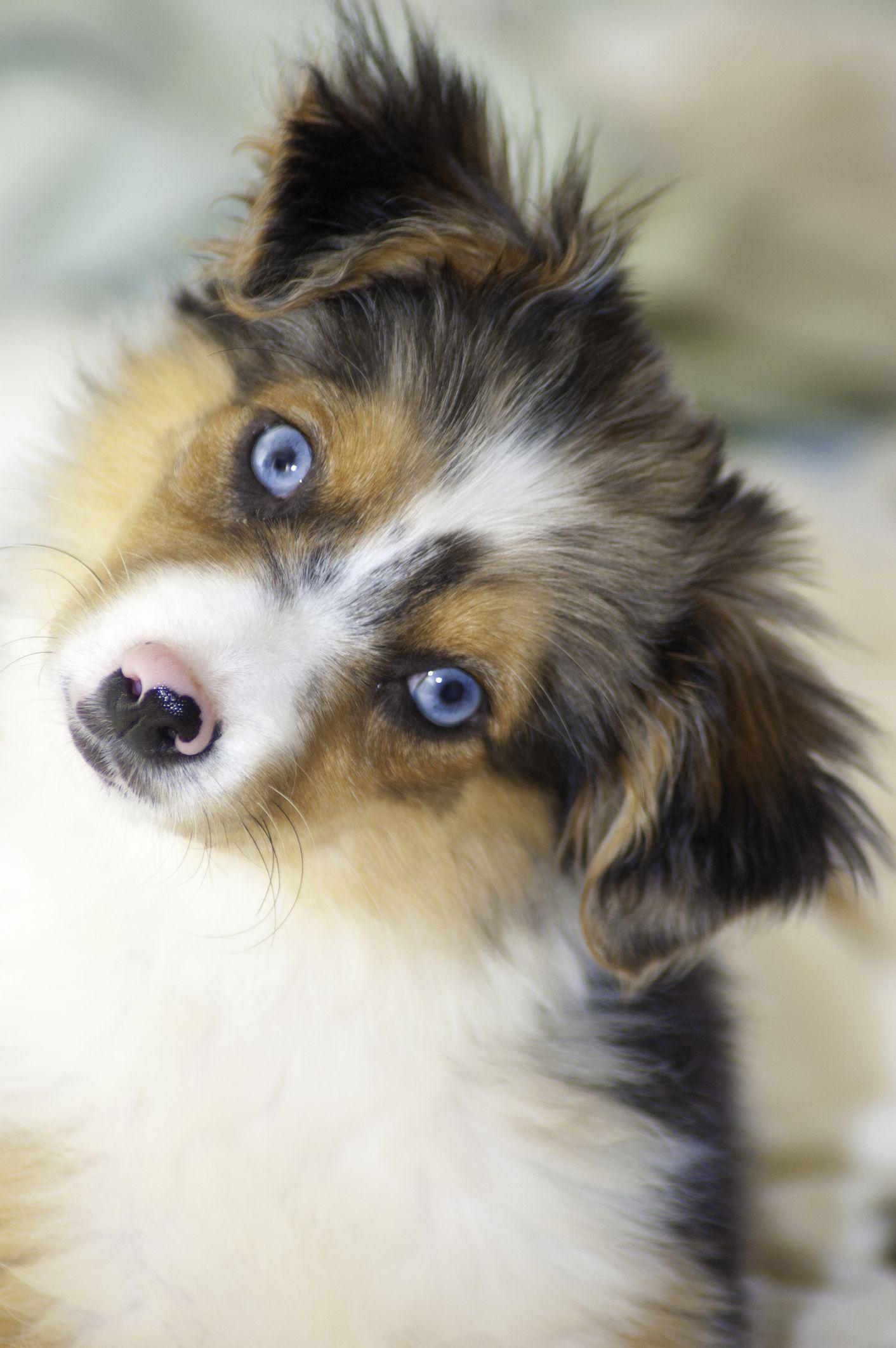9 Dogs With Blue Eyes Australian Shepherd Siberian Husky And More