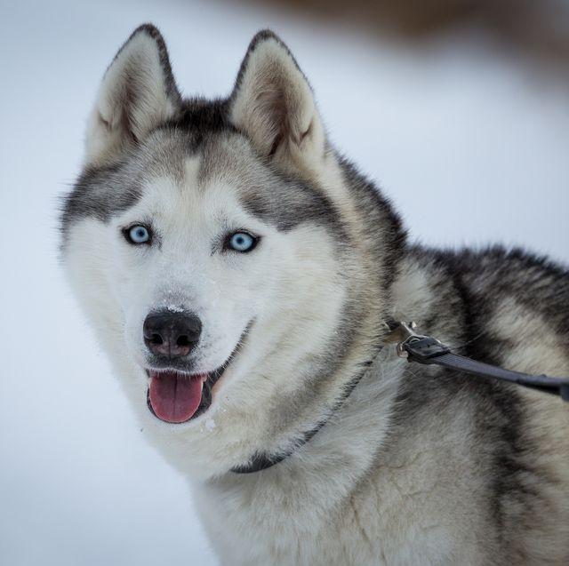 Close-Up Of Siberian Husky