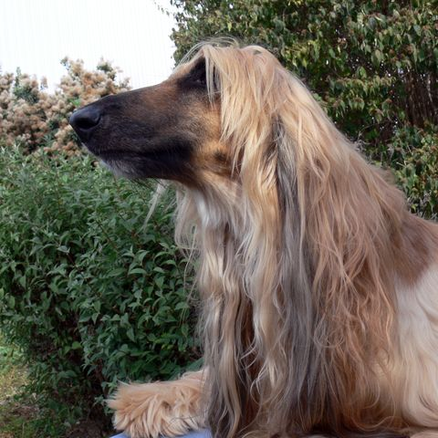 Dogs with Long Noses Afghan hound