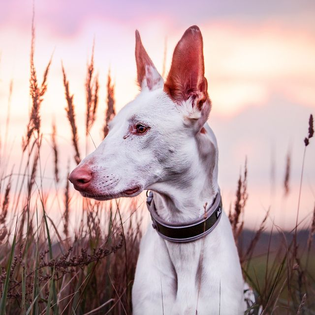 Dogs With Long Noses Ibizan Hound