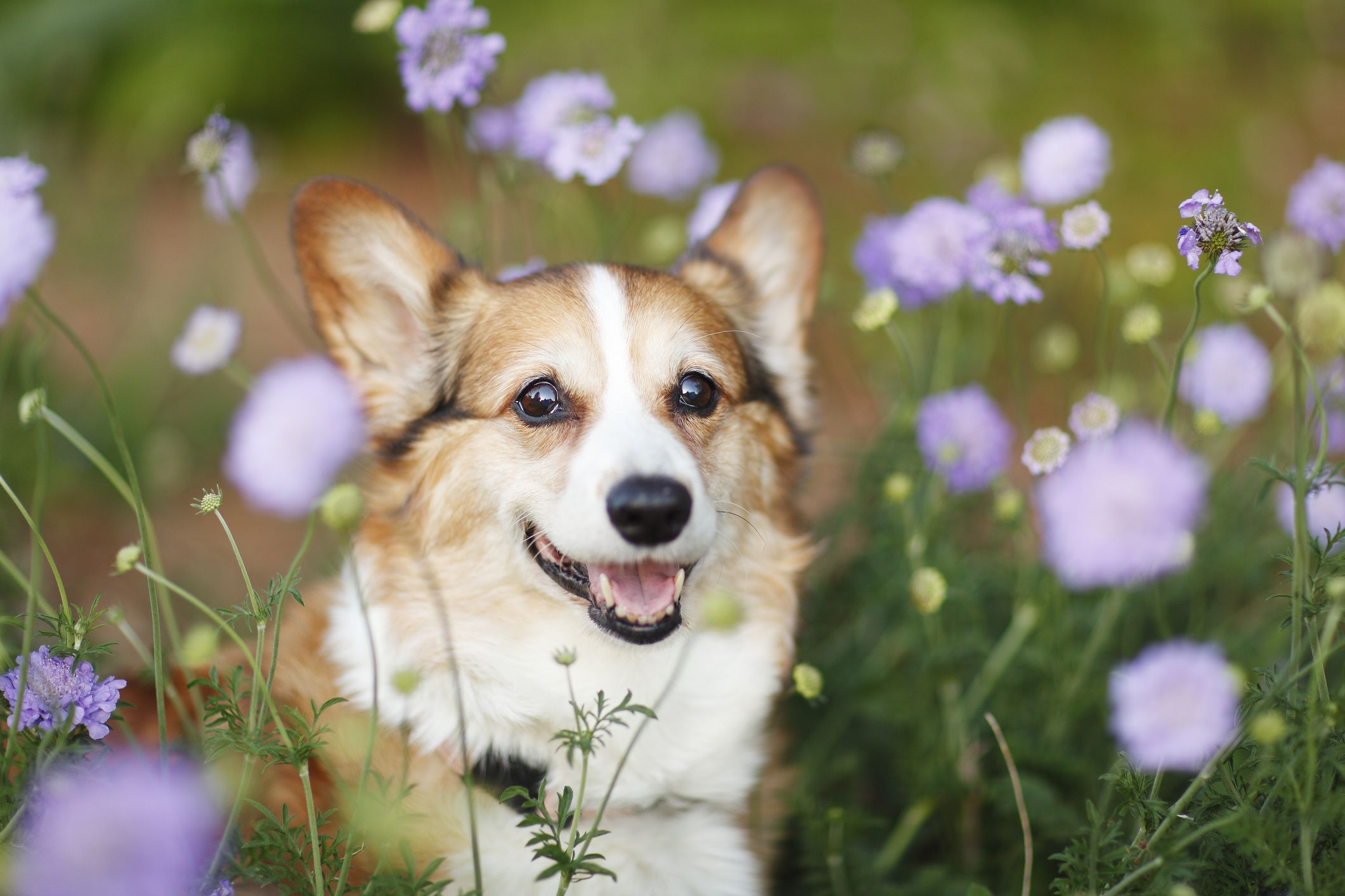 7 Dogs With Short Legs Corgi Spaniel And Terriers