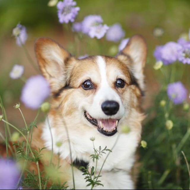 dogs-with-short-legs