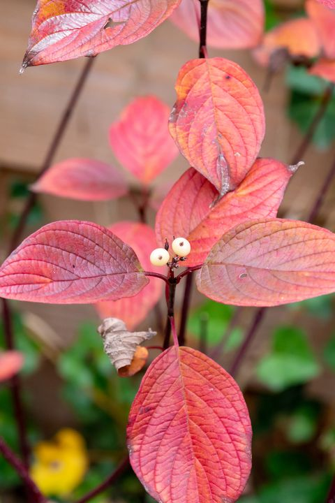 dogwood, cornus alba sibirica, with red leaves and white berries in garden in autumn, netherlands