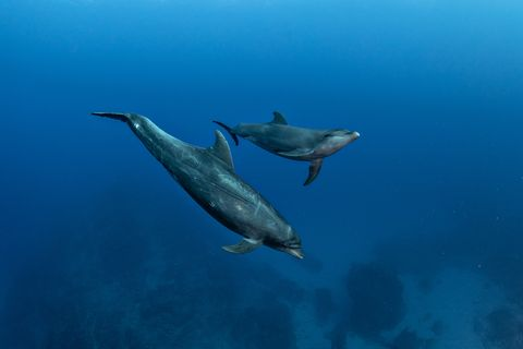 Dolphin mom and calf moving in the blue