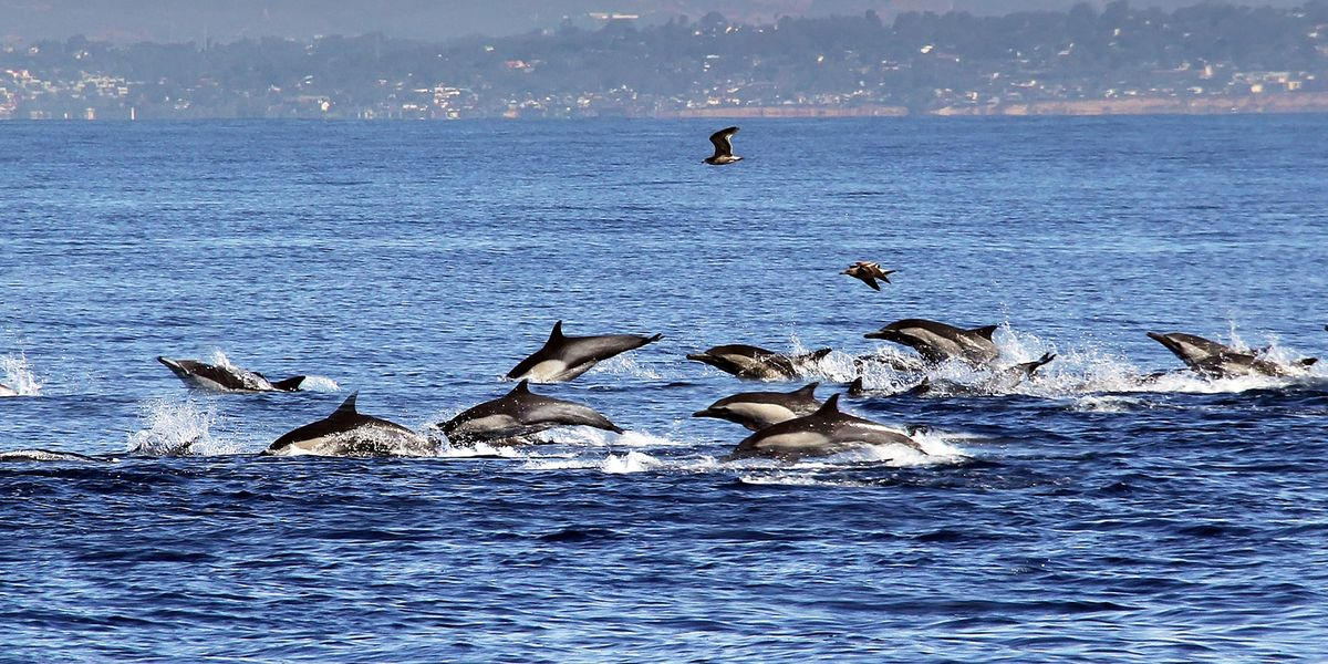 "Watch Hundreds of Dolphins ""Stampede"" Off California Coast in Breathtaking Video"