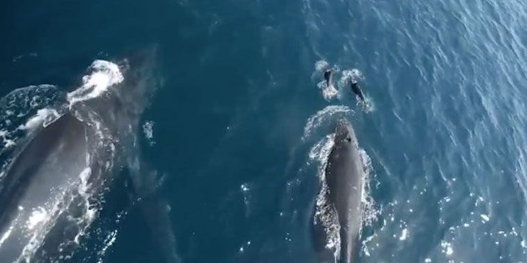 dolphins play with humpback whales