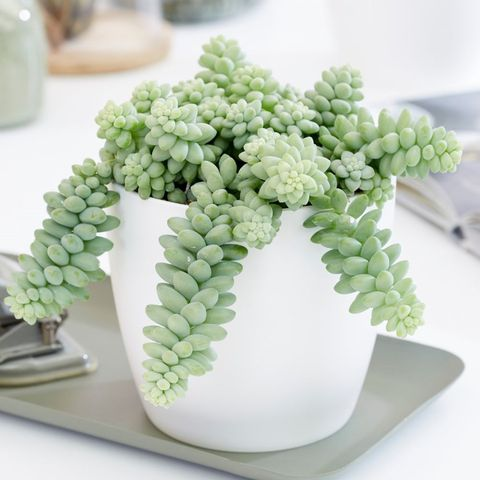 Best indoor plants - donkey tail