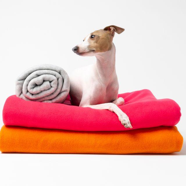Dog, Canidae, Whippet, Companion dog, Carnivore, Dog breed, Dog bed, Italian greyhound, Furniture, Fawn,