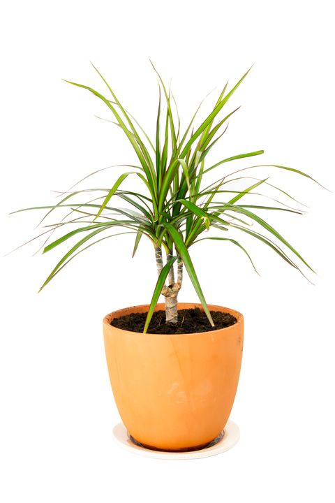 Dracaena marginata in a pot