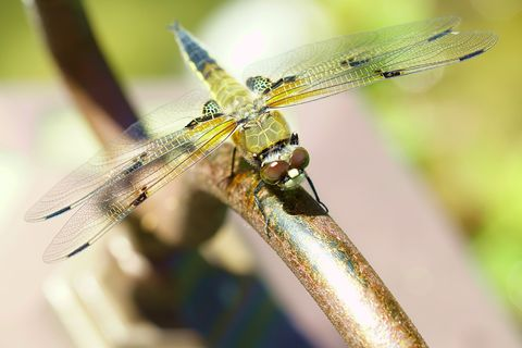 state insect   alaska dragon fly   four spot   libellula quadrimaculata, female animal four spotted chaser