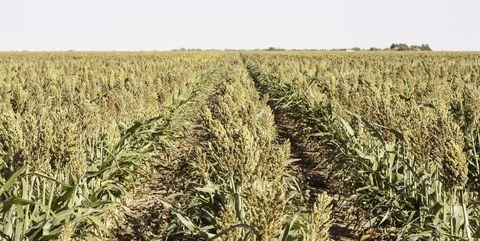drought parched crop of sorgum
