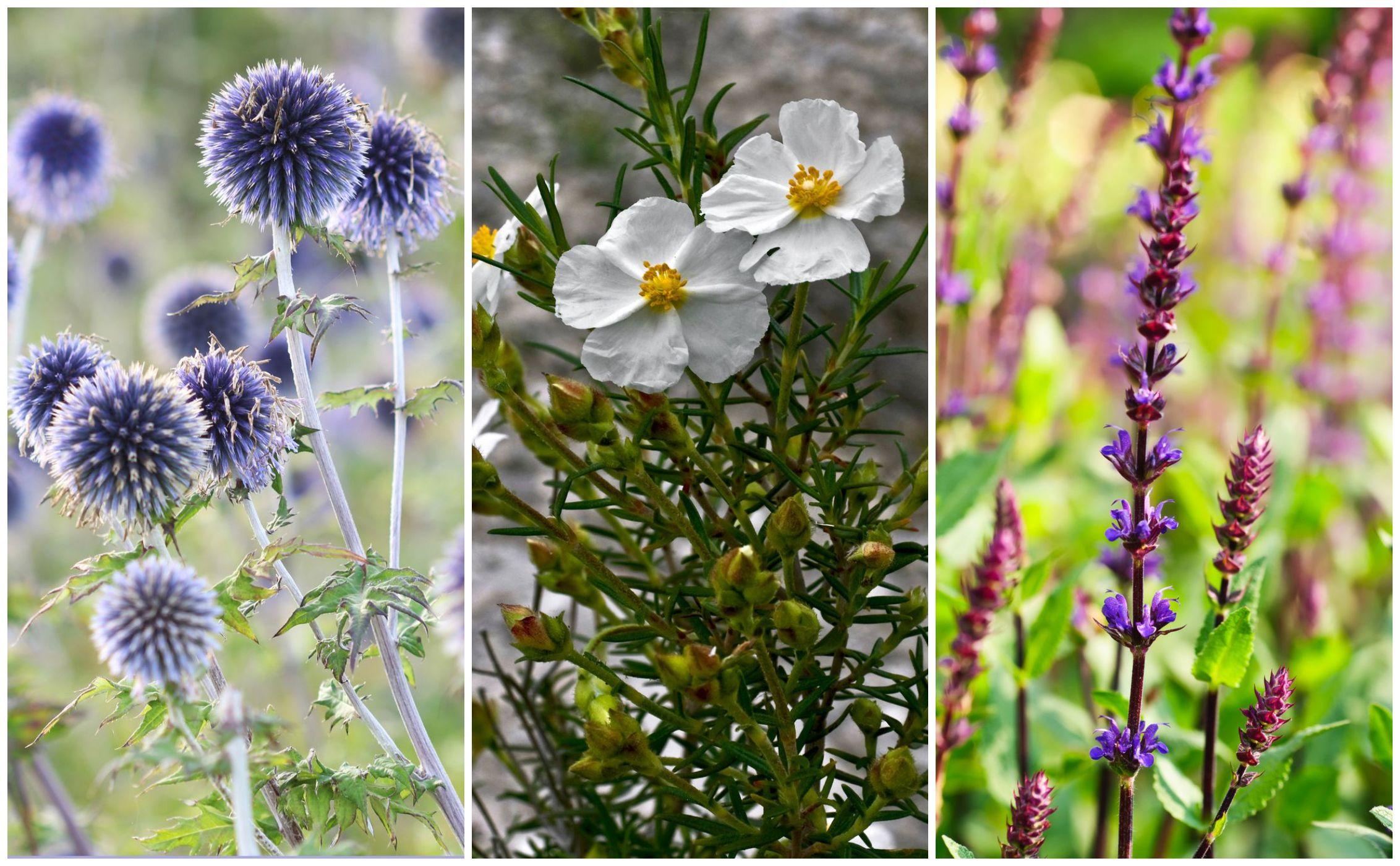 5 Best Drought Tolerant Garden Plants - Heat Tolerant Plants