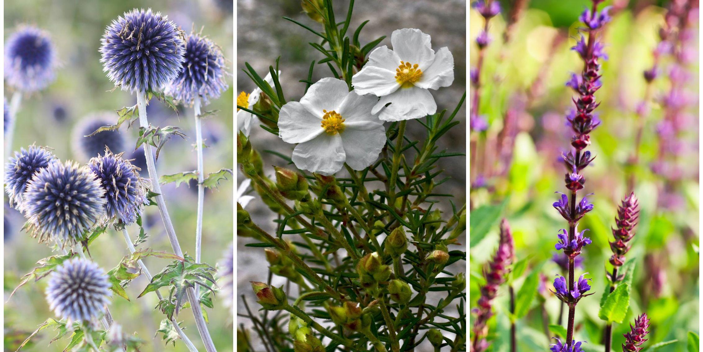5 of the best drought tolerant garden plants