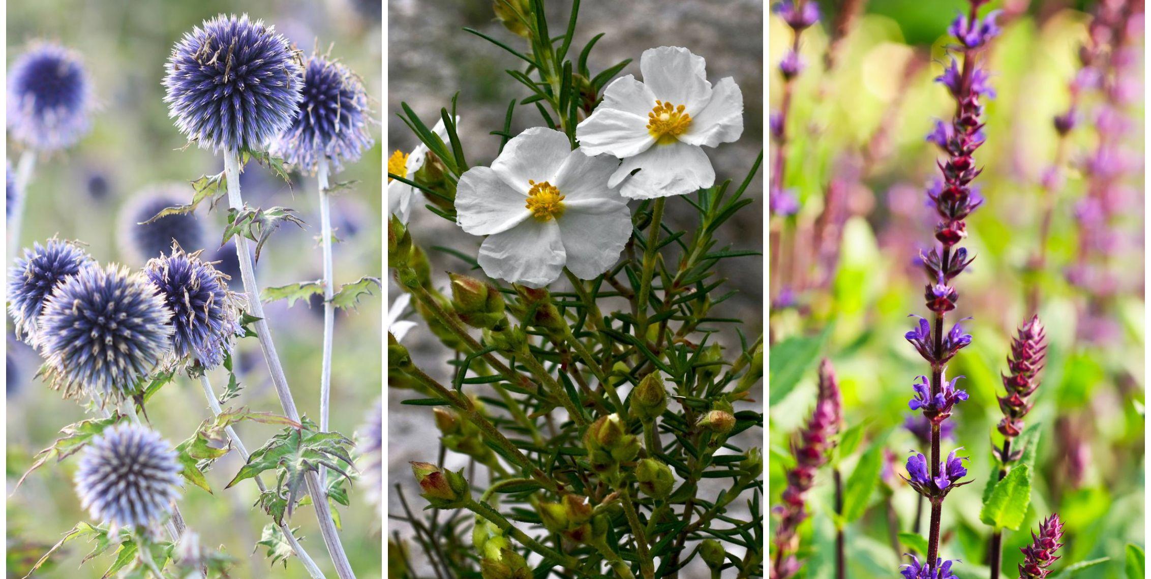 5 Best Drought Tolerant Garden Plants Heat Tolerant Plants