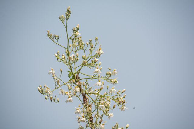 drumstick tree flowers
