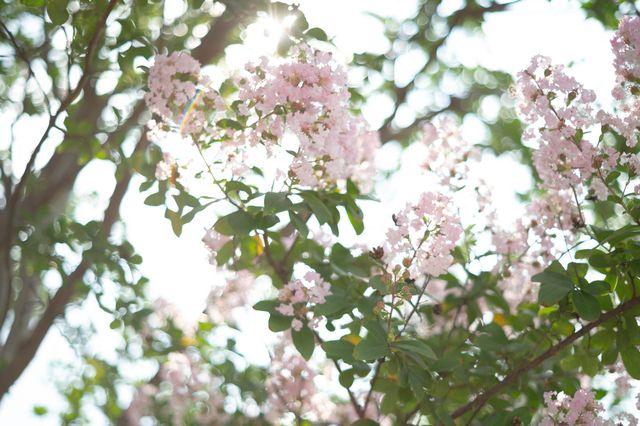 優しいピンク色のサルスベリ