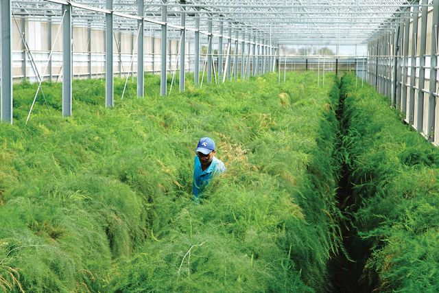 初夏綠蘆筍