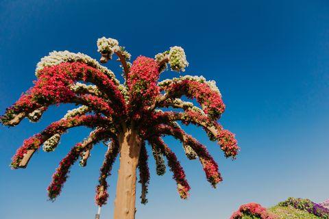 dubai, uae   january 05, 2019  dubai miracle garden with over 45 million flowers in a sunny day , united arab emirates   image