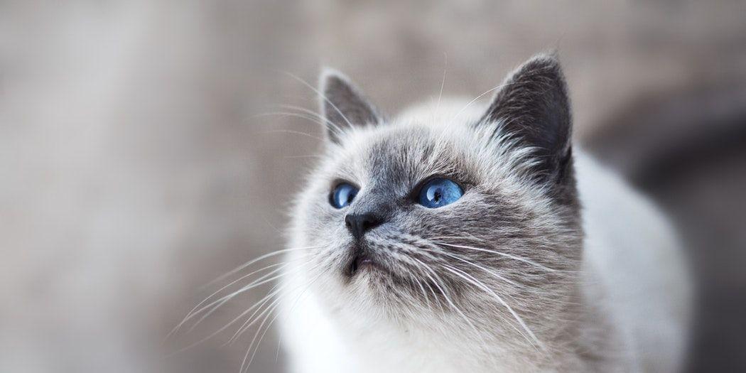 duurste-kattenrassen-ter-wereld
