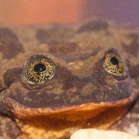 Toad, Amphibian, Frog, True frog, True toad, Bufo, Eleutherodactylus, Eye, Terrestrial animal, Organism,