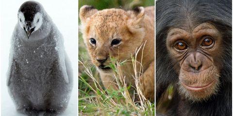 David Attenborough Dynasties photo