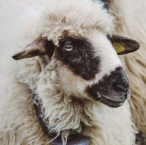 Vertebrate, Mammal, Sheep, Goats, Sheep, Livestock, Snout, Nose, Goat, Cow-goat family,