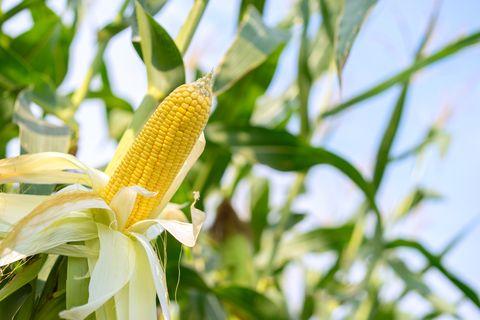 épi de maïs jaune avec les grains encore attachés à l'épi sur la tige dans un champ de maïs biologique