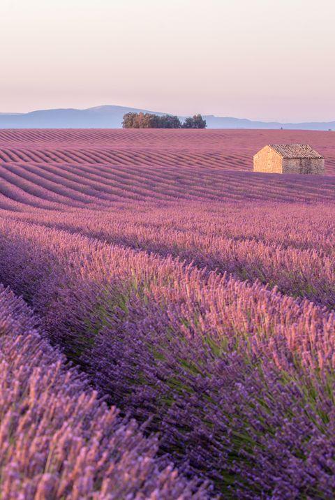 Рано утром в лавандовом поле Прованса с одиноким домом