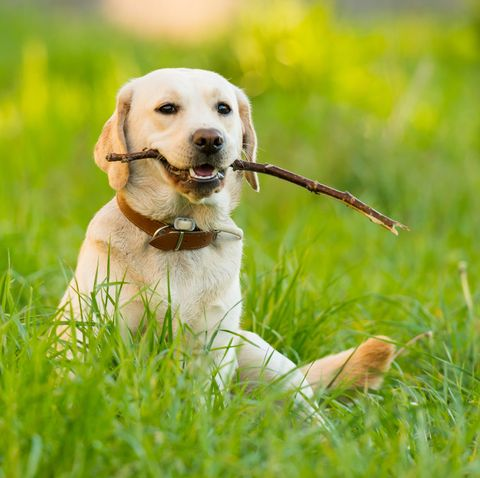 easiest dogs to trainlabrador retriever