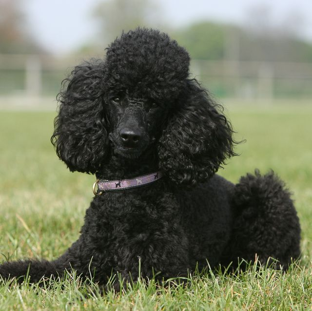 easiest dogs to trainpoodle