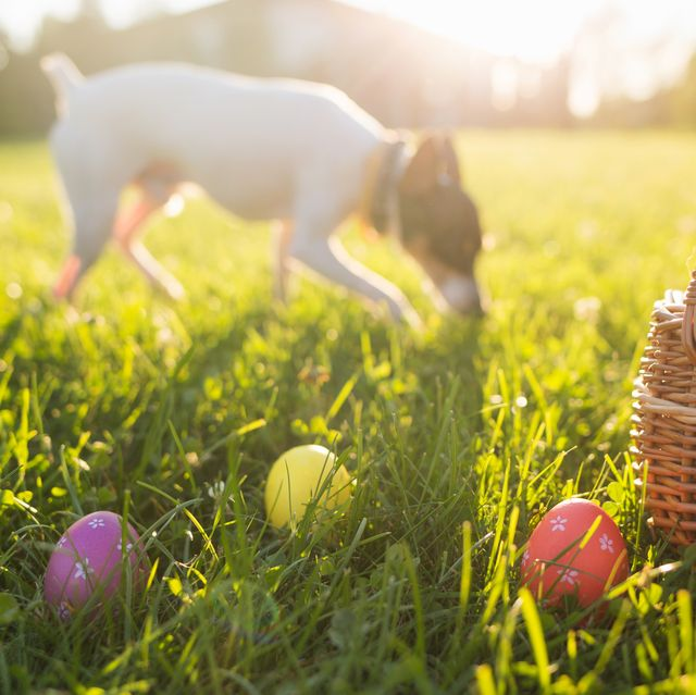 easter eggs in a basket on the grass on a sunny spring day close up running dog in the background