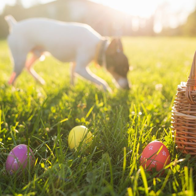 11 common easter treats that are toxic to dogs