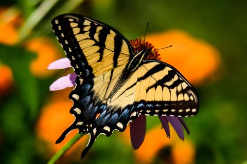 state insect, alabama   eastern tiger swallowtail butterfly sitting on flower close up, huber heights, united states