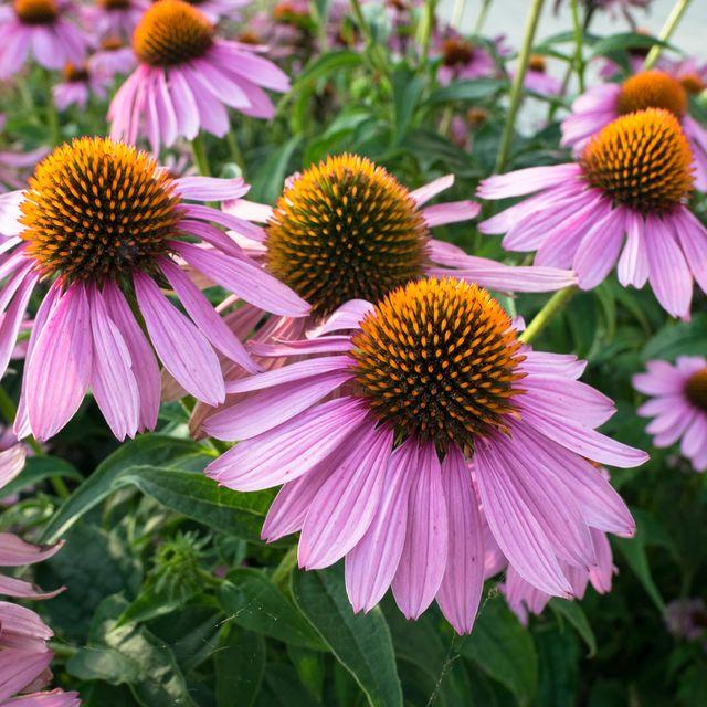 echinacea flowers in a garden