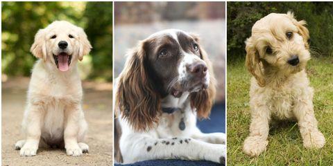 Dog, Mammal, Vertebrate, Dog breed, Canidae, Carnivore, Companion dog, Cocker spaniel, Sporting Group, Setter,